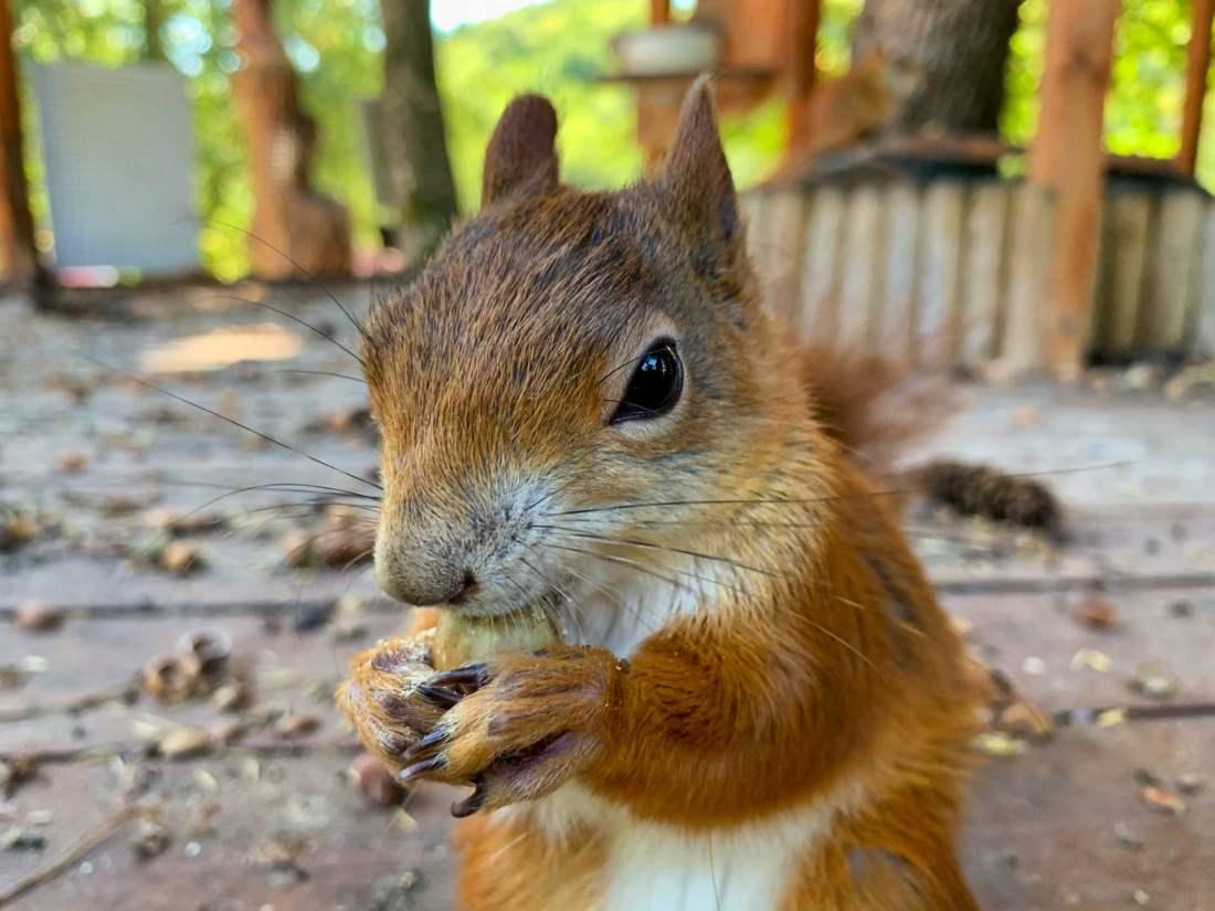 Veverička, detail