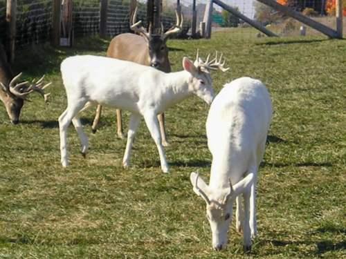 Biele jelene
